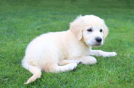 Golden retriever labrador puppy on the green grass photo