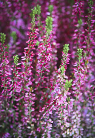 Violet and pink heather. Close up photo