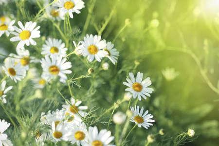 margriet: Gebied van daisy. Zomer weide. Zonnig weer Stockfoto