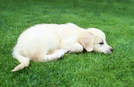 Golden retiever labrador puppy on the green grass Stock Photo - 9356176