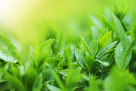 tip of the leaf: Tea plantation close up background after the rain Stock Photo