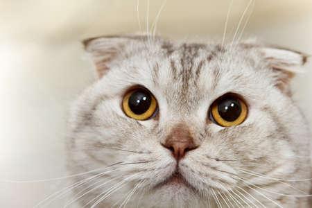 Close up portrait of hungry gray scottish cat  photo