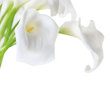 Bunch of Cala Lilies in high key photo