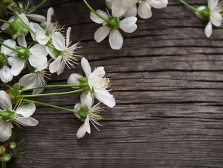 Spring blossom cherry flowers over wooden background Stock Photo - 11777119