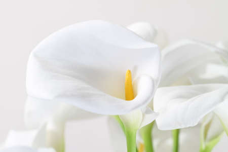 Bunch of Cala Lilies in high key. Isolated on white photo