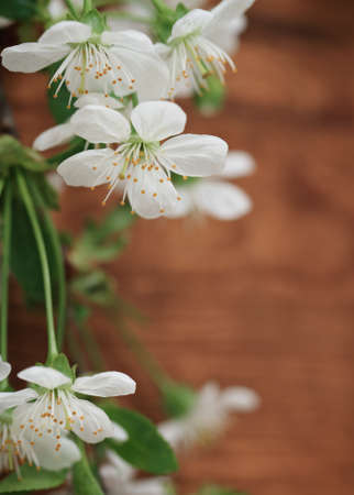 Spring blossom cherry flowers over wooden background Stock Photo - 12285221