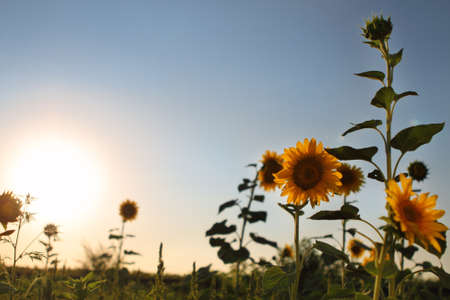 Sunflowers in field and blue clear sky. Sunset photo