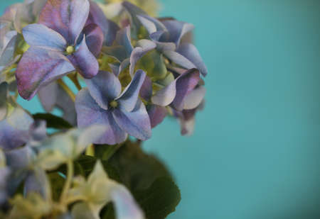 Close-up of a blue hydrangea plant over blue in retro style photo