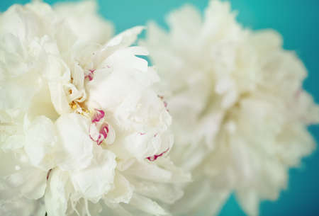Close-up of a white peony  flowers over blue in retro style photo