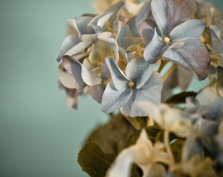 Close-up of a blue hydrangea plant  in retro style photo