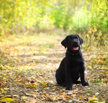 black labrador: Black labrador retriever puppy in the autumn forest  Stock Photo