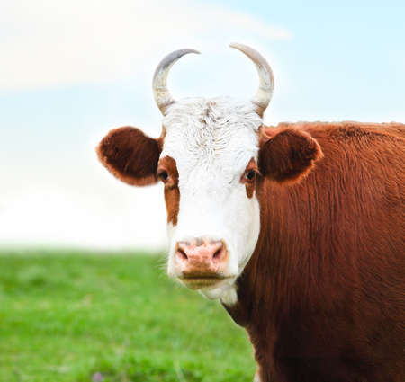 Close up portrait of the white and brown cow on summer green meadow photo