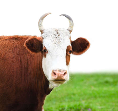 closeup cow face: Close up portrait of the white and brown cow on green meadow isolated on a white background