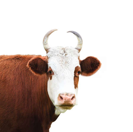 Close up portrait of the white and brown cow isolated on a white background photo