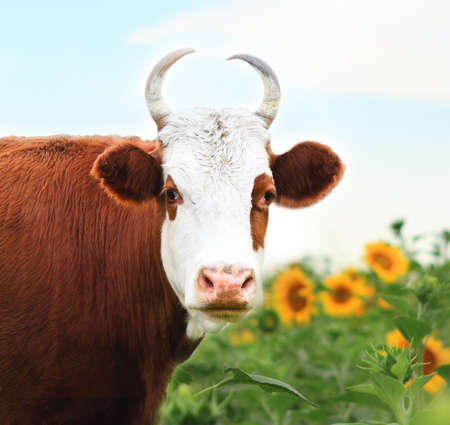 Close up portrait of the white and brown cow on sunflower field background photo