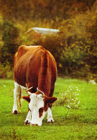 closeup cow face: White with brown cow on autumn green meadow Stock Photo