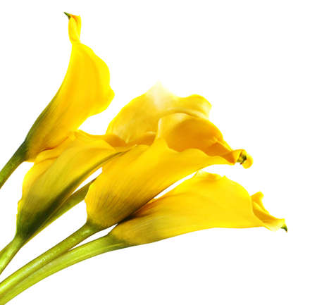 Bunch of yellow cala lilies isolated on white photo