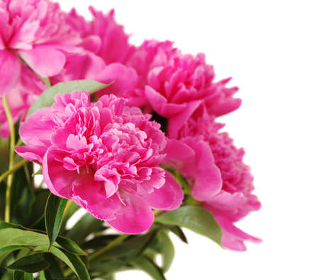 Pink peony flowers isolated on white. Close up photo