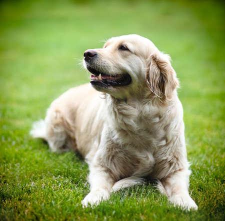 Golden Labrador retriever on green grass