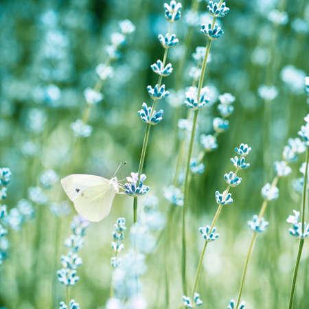 relaxamento: Detalhe bonito de um campo de lavanda com borboleta. Imagem colorida em tons