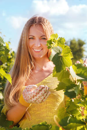 Woman winegrower picking grapes at harvest time photo
