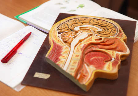 anatomical model: Close up of anatomical  model of a human head with book, writing-book and pen on the desk in biology classroom Stock Photo