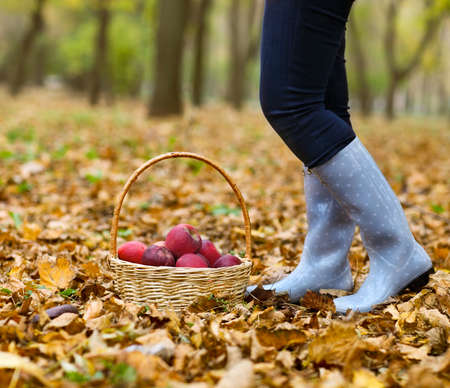 Autumn country - woman wearing polka dots rain boots with wicker basket harvesting apple photo