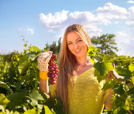 winegrowing: Woman winegrower picking grapes at harvest time in the vineyard Stock Photo