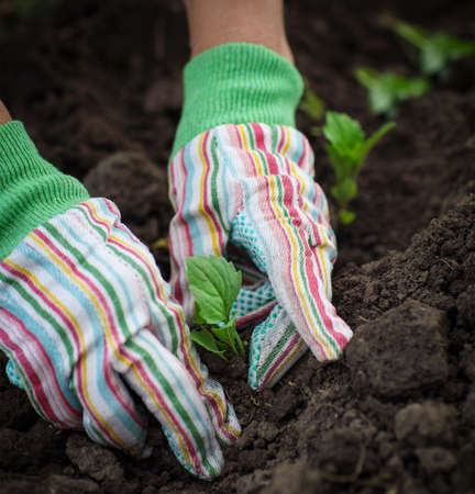Senior woman planting a seedling in the vegetable garden wearing gloves photo