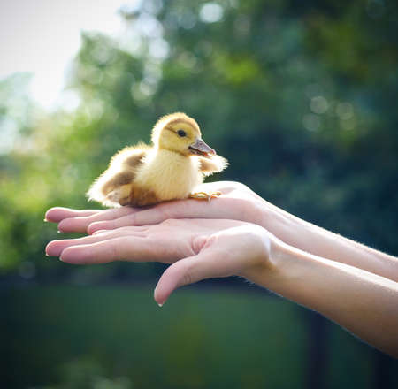 Woman holding yellow duckling outdoors at green nature background photo
