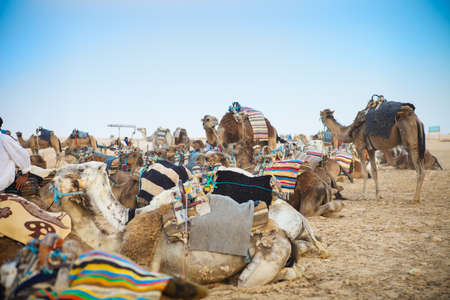 arab beast: Arabian camels or Dromedary also called a one-humped camel in the Sahara Desert, Tunisia Stock Photo