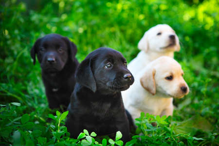Group of adorable golden retriever puppies in the yard on the green grass