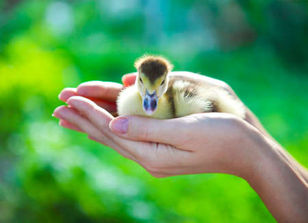 yellow duckling: Woman holding yellow duckling outdoors at green nature background
