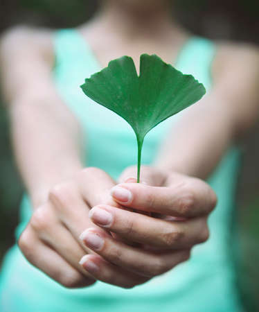 welfare plant: Woman holding Ginkgo biloba leaf in her hands. Close up