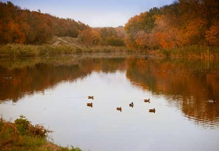 with duck: Paisaje de oto�o. Parque en oto�o. Los colores brillantes de oto�o en el parque por el lago con patos