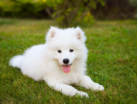 Funny Samoyed puppy in the summer garden on the green grass