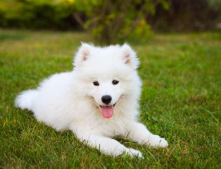 perrito: gracioso cachorro Samoyedo en el jardín de verano en la hierba verde