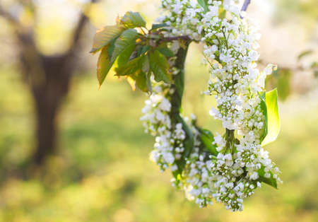 Wreath from lily of the valley hanging on the spring blossoming tree