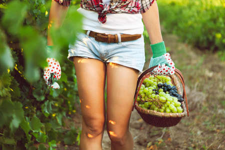 biological vineyard: Smiling woman with basket of grapes in the vineyard. Harvest of grapes