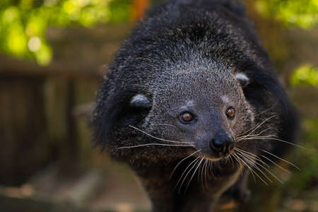 civet cat: Binturong or bearcat (Arctictis binturong). The binturong is widespread in south and southeast Asia occurring in Bangladesh, Bhutan, Myanmar, China india and indonesia Stock Photo