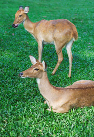 capreolus: Two curious roe deer on the green grass. Close up Stock Photo