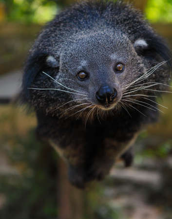 widespread: Binturong or bearcat (Arctictis binturong). The binturong is widespread in south and southeast Asia occurring in Bangladesh, Bhutan, Myanmar, China india and indonesia Stock Photo