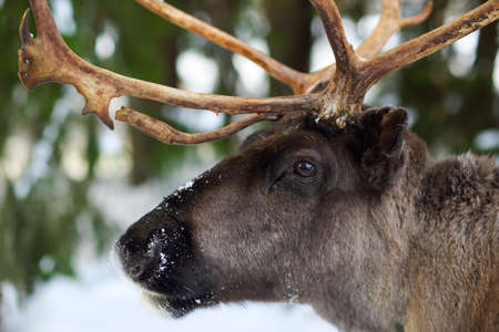 wilderness area: Reindeer in its natural environment in scandinavia. Northern polar circle. Lapland.
