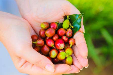 Coffee beans in hispanic woman hands