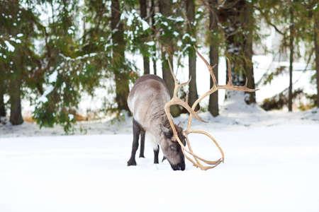 polar environment: Reindeer in its natural environment in scandinavia. Northern polar circle. Lapland.