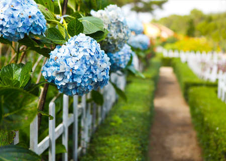 Blue Hydrangea flower (Hydrangea macrophylla) in a garden. Close-up. Copy space