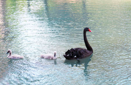 water bird: Black swans. Goose. Geese with young goslings on the lake. Bird swan, bird goose. Swan family walking on the water. Swan bird with little swans. Swans with nestlings. Swan with chicks. Mute Swan Stock Photo