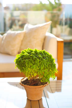 Basil in the ceramic pot outdoor. Modern interior and design concept
