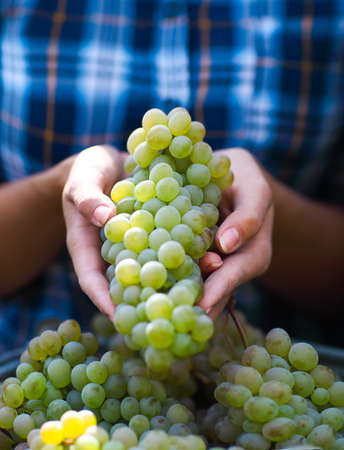 harvested: Grapes harvest. Young farmer woman with freshly harvested grapes. Close up