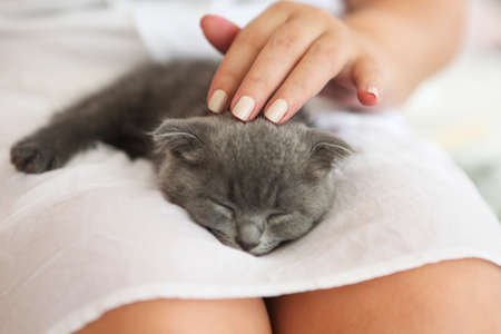 British kitten slepping on young woman hands Stock Photo